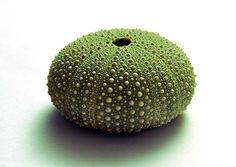 Kina Shell by SimonHutton, via Flickr Kiwiana, Design Art, Design Ideas, Sea Shells, New Zealand, Pottery, Sea Urchin, Photography, Image