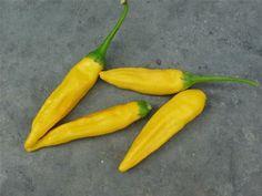 Noget om chili - dyrkning, sorter mv. (Camilla Plum)