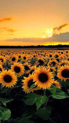 gelbe Sonnenblumen und Himmel – Bilder – … yellow sunflowers and sky – Pictures – …, Tumblr Wallpaper, Wallpaper Backgrounds, Iphone Wallpapers, Wallpaper Desktop, Mobile Wallpaper, Desktop Backgrounds, Hd Nature Wallpapers, Wallpaper Samsung, Desktop Images