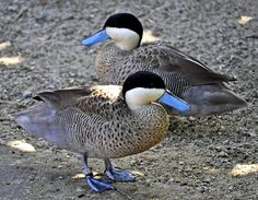 Puna Teal duck (Anas puna), resident in the Andes of Peru, western Bolivia, northern Chile, and extreme northwestern Argentina. They have a black cap that extends to below the eyes. Their lower face and neck are creamy white. Their upper tail coverts are gray, and their rear flanks are dark brown with thin stripes. Back, chest and lower flanks are light coffee with dark brown spots. Their bill is large, light blue with a black line down the middle.