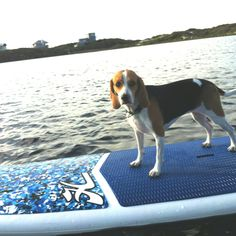Beagle on the yolo board at WaterSound