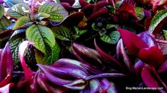 Thick and shiny green Purple Swedish Ivy with shimmering two-toned silver and purple Wandering Jew.  From the House Plants Gallery at In the Garden…with Mariani Landscape. #MyMariani