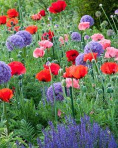 Plant Combinations, Flowerbeds Ideas, Spring Borders, Summer Borders, Allium Globemaster, Oriental Poppy Beauty of Livermere, Oriental Poppy Princess Victoria Louise, Salvia Caradonna, Oriental poppies