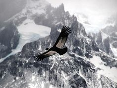 Andean Condor.  It's big.  It's Majestic.  It's as wild as the Andes.  It eats dead things.