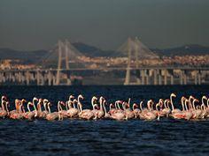 Flamingos no Mar da palha - Lisboa