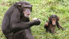 mother chimpanzee teaches her kids to communicate with humans. new step for chimps. kind of cool.