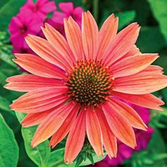 "Sundown Coneflower  Product Information:  Light: Full sun to partial shade  Height: 32-40"" tall  Deer Resistant  Bloom Time: Mid to late summer  Size: Potted/Bareroot  Zones: 3 to 10"