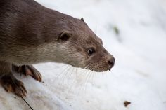 Did the otters at the Zoo ever mesmerize you and your kids? Brian Keating joins Doug Dirks in the studio to talk about an otter sighting here in Calgary. Interesting Animals, Otters, Calgary, Polar Bear, Studio, Kids, Young Children, Boys, Otter