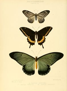 Vintage Illustration Exotic Butterflies 1866 Numicus et al Canvas Art - W Chapman Hewitson x - Exotic Butterflies 1866 Numicus et al Canvas Art - W Chapman Hewitson x Vintage Butterfly Tattoo, Butterfly Images, Butterfly Drawing, Tattoo Vintage, Butterfly Wall Art, Butterfly Illustration, Botanical Illustration, Illustration Art, Illustrations