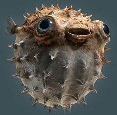 Blow Fish - Fugu.