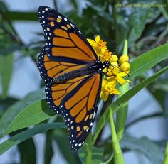How to Grow Tropical Milkweed without (Potentially) Hurting Monarch butterflies.