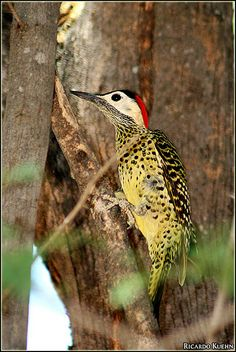"The Green-barred Woodpecker (Colaptes melanochloros) is a species of bird in the Picidae family. The scientific name melanochloros derives from the Greek melanos, meaning ""black"", and chloros, ""pale green"", the principal colors of this bird. The Golden-breasted Woodpecker is sometimes included here as the southern group of subspecies and sometimes treated as a distinct species, C. melanolaimus."