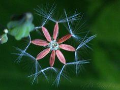 Crepis japonica  - Barba-de-falcão by @HerSander, via Behance #FlorDeMato