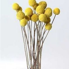 Erin oneil swygert localroot on pinterest preserved billy button bundle in natural golden yellow mightylinksfo Gallery