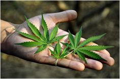 Getting the Facts on Medical Marijuana Before You Begin to Work in the Industry