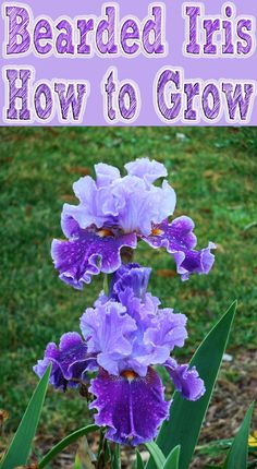 How to Grow Bearded Iris. With their sword like leaves and showy flowers, Bearded Iris are an eye-catching addition to any garden... #garden #flowers #ornamentalplants