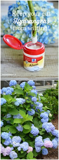 Keep your cut Hydrangeas from wilting with this easy tip! | ©homeiswheretheboatis.net #hydrangeas #garden