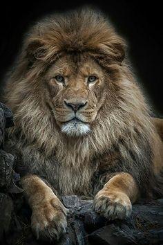 37 New ideas for tattoo lion king art big cats Lion Images, Lion Pictures, Animal Pictures, Portrait Pictures, Daily Pictures, Beautiful Creatures, Animals Beautiful, Big Cats, Cats And Kittens