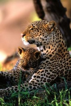 Wildlife Photography Animals African Leopard Family