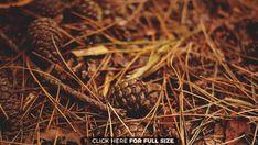 Autumn Black Brown Forest Orange Pine Cones Pine Needles