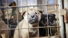 Mayor Bao Nguyen of Garden Grove, California: Tell Sister City, Anyang, South Korea, That We're Opposed to the Torture and Consumption of Dogs and Cats.    Garden Grove has become Sister City with Anyang, South Korea, regardless of the fact that Anyang ignores horrendous dog and cat cruelty by allowing...