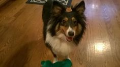 Meet Dundee, a Petfinder adoptable Shetland Sheepdog Sheltie Dog | New Castle, PA | Please give a BIG hug and welcome to our new sheltie boy on the block. I would like to introduce...