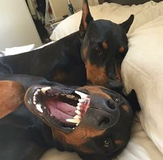 The Doberman Pinscher is among the most popular breed of dogs in the world. Known for its intelligence and loyalty, the Pinscher is both a police- favorite Doberman Pinscher Dog, Doberman Dogs, Dobermans, Rottweiler, I Love Dogs, Cute Dogs, Black And Tan Terrier, Animals And Pets, Cute Animals