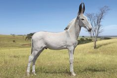 This is a Pega donkey, a breed from Brazil often used to create gaited mules (using Brazilian gaited horse breeds). http://maab.com.br/novo/ -- Gotta admit they are quite attractive!