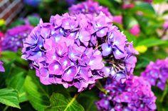 Sfumature viola intenso per la fioritura di questa ortensia