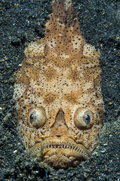 … while nearby the bulging eyes of a reticulate stargazer peer from the seabed A reticulate stargazer (Uranoscopus sp.) emerging from the sand in the Lembeh Strait, Molucca Sea (Bitung, North Sulawesi, Indonesia) Picture: Alex Mustard/NPL/Rex Features