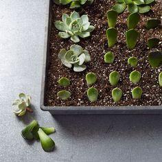 Propagating succulents. #indoorgardening
