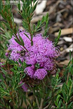 Melaleuca thymifolia, known as the thyme honey-myrtle is a common Australian plant found in coastal areas, often in heathland, woodland and swampy edges. Growing on sandstone or clay based soils. A fragrant shrub around 1 metre high, with corky bark and slender wiry stems. This plant is often noticed in spring, with attractive violet or purple flowers with feathery claws