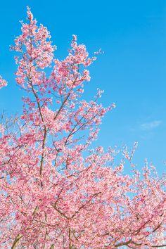 透き通る青空と桜 / Free Stock Photos