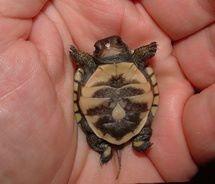 Jesus loves baby turtles! Please Repin!  www.facebook.com/...