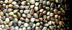 Os super benefícios dos superalimentos - Sementes de Cânhamo / The super benefits of superfoods - Hemp seeds