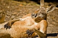Taking a break: A kangaroo basks in the sunshine in this heartwarming photo