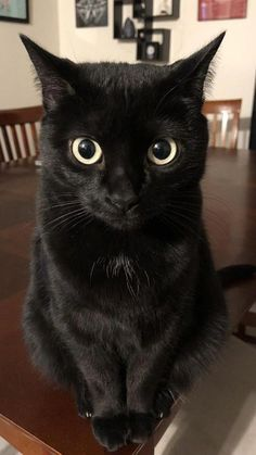 Black Cat Awareness Month: 6 Reasons To Adopt A Black Cat Lets spotlight six great reasons why you should adopt black cats in honor of Black Cat Awareness Month! The post Black Cat Awareness Month: 6 Reasons To Adopt A Black Cat appeared first on Katzen. Cute Cats And Kittens, I Love Cats, Crazy Cats, Cool Cats, Kittens Cutest, Black Kittens, Cat Aesthetic, Yellow Cat, Yellow Eyes
