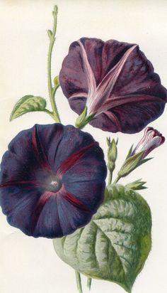 Antique Original Original Coloured Bookplate Color Book Plate Vintage Print E. Hulme Familiar Garden Flowers 1890 Major Convolvulus.