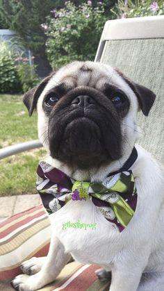 Giles | Social Pug Profile http://www.thepugdiary.com/giles-social-pug-profile/