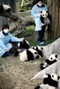 keepers play with and feed baby pandas at a breeding center