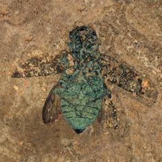 Jewel beetle-- 47 million years old!