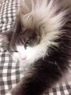 Hyne, Norwegian Forest Cat