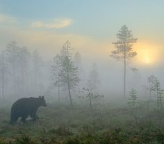 Photograph by Stefano Unterthiner @stefanounterthiner.  At dawn, a young male brown bear is moving in front of my  blind in the Finnish taiga. An unforgettable morning. This photograph made my bear's book cover - 'The nights of the bear'. Six months of work, between the spring and autumn of 2008, were needed to accomplish this photographic work. 80 nights spent in my blind documenting each season of the bears' lifecycle.  Follow me @stefanounterthiner to see more images from my personal…