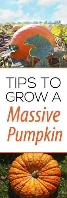 Secret tips to grow massive pumpkins in your own backyard!  Check out this site for lots of gardening tips and tricks.