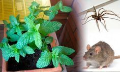 This simple plant in your house and you will never see mice, spiders and other insects; My grandmoth Cleaning Recipes, Cleaning Hacks, Cleaning Solutions, Get Rid Of Spiders, Organic Cleaning Products, Natural Cleaners, Hygiene, Home Hacks, Clean House