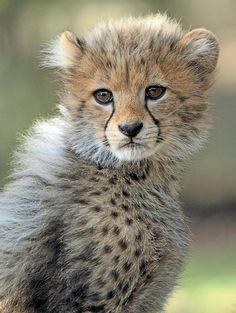 ~~Cheetah Cub Portrait by j.a.kok~~