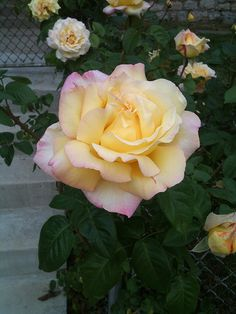 Peace hybrid tea rose.  An AARS winner named the day Berlin Fell in WWII.
