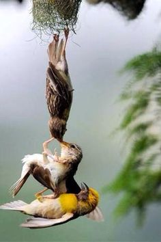 Parent birds saving baby bird   Falling from nest - how in the world did someone capture this in a photo???!!
