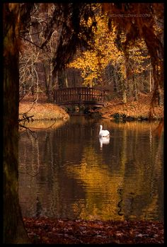 The swan in autumn.