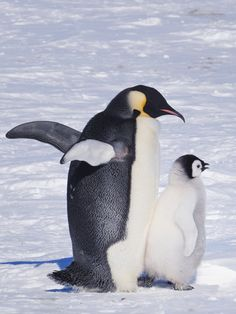 """""""Penguin-Pedia"""" the book, as well as this website is the creation of a Dallas, Texas based entrepreneur David Salomon"""